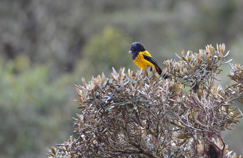 Golden-backed Mountain-tanager