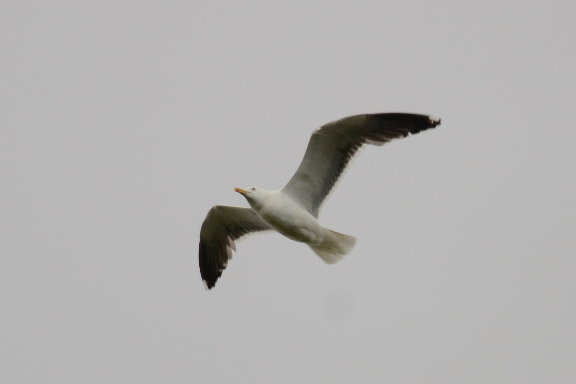 Lesser Black-backed Gull  (GOELAND BRUN)