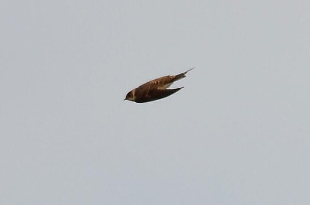 Bank Swallow (Sand Martin)  - HIRONDELLE DE RIVAGE