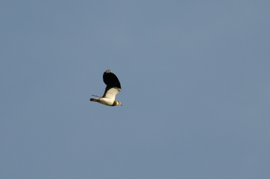 Northern Lapwing  (VANNEAU HUPPE)