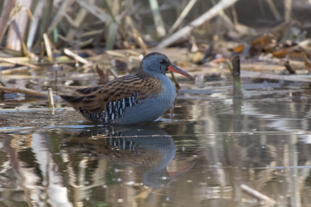 Water Rail  (RALE D'EAU)