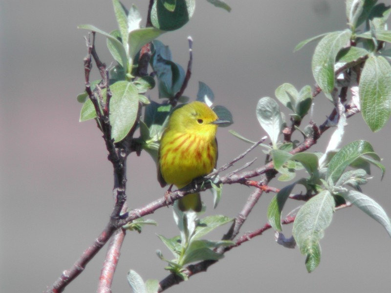 Yellow Warbler  ( Paruline jaune ) - ooh aint that a picture?