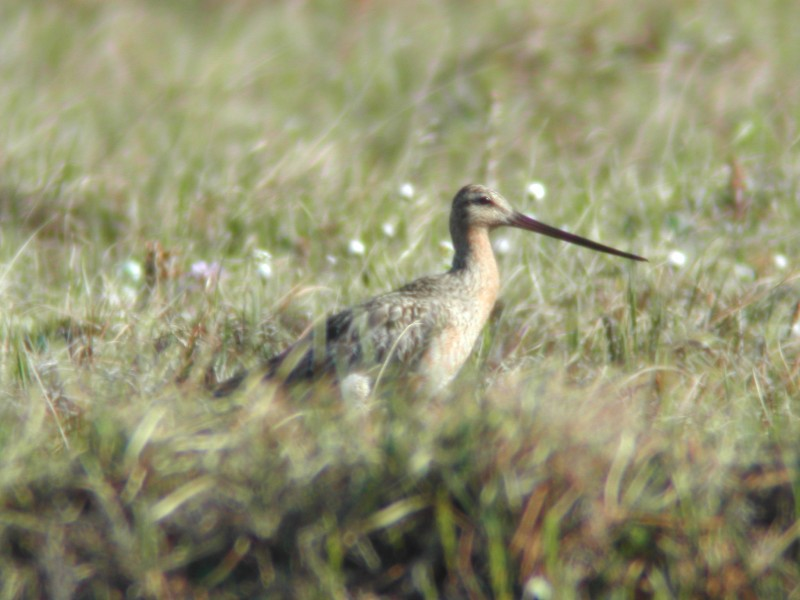 Bar-tailed Godwit  (Barge rousse) - long-beaked race...