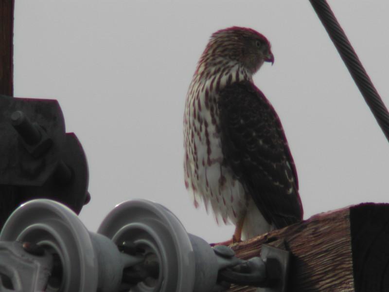 Cooper's Hawk  (Épervier de Cooper)