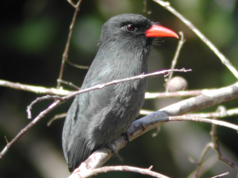 Black-fronted Nunbird (Barbacou unicolore)