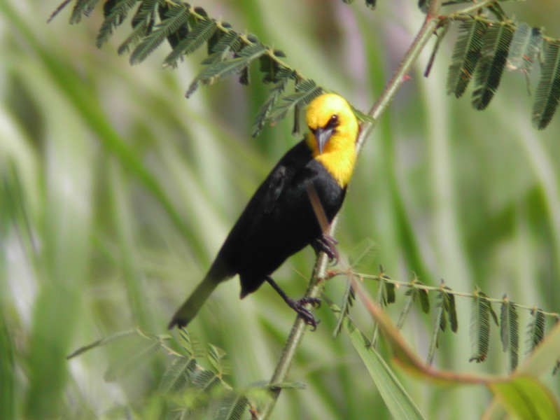 Yellow-headed Blackbird (Carouge à capuchon)