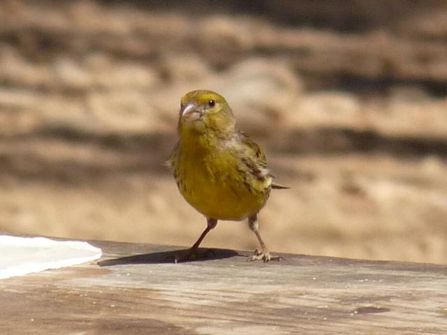 Atlantic Canary