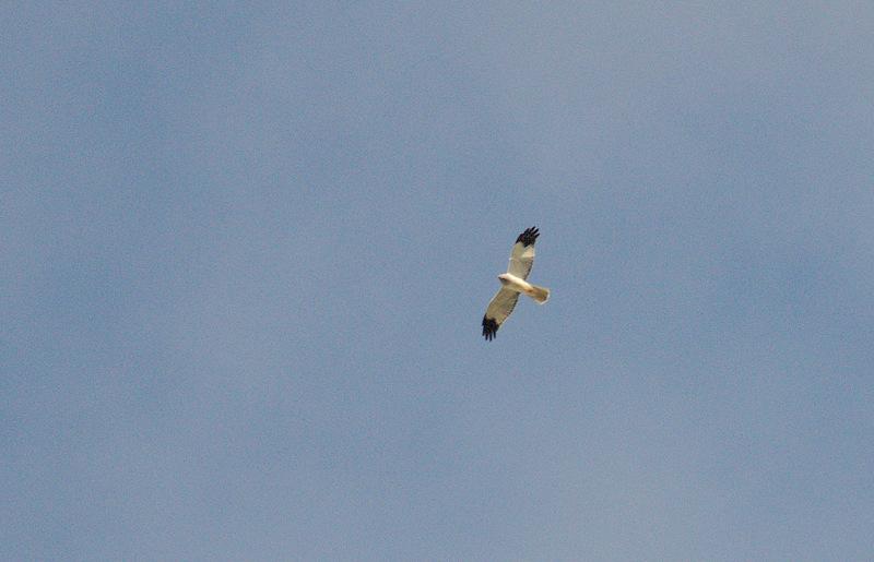 Hen Harrier (Busard Saint-Martin)