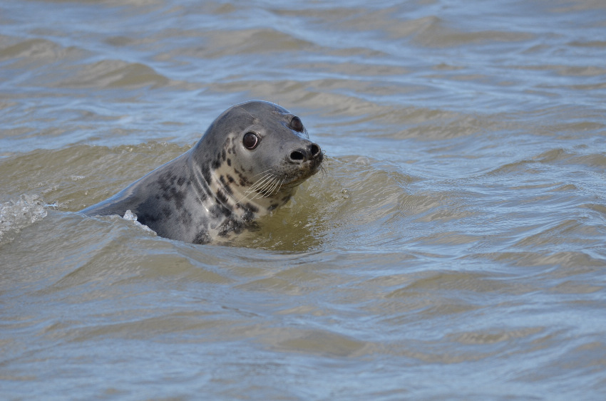 Grey Seal   PHOQUE GRIS