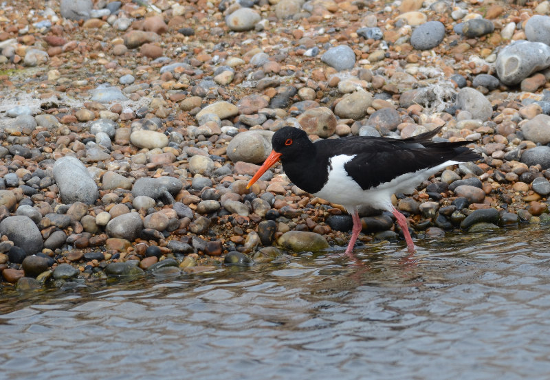Oystercatcher   HUITRIER-PIE