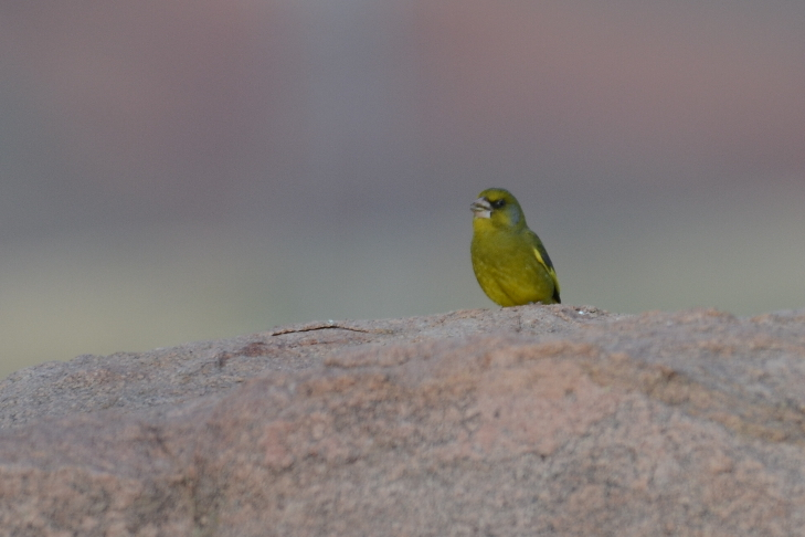 European Greenfinch  (VERDIER D'EUROPE)