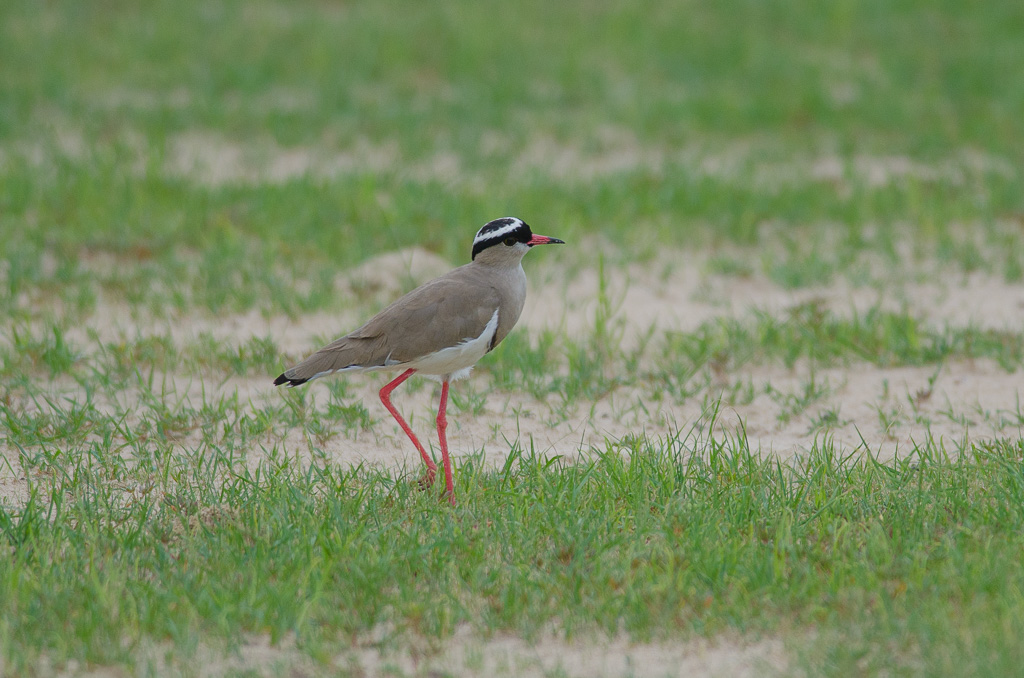 Collared Lapwing