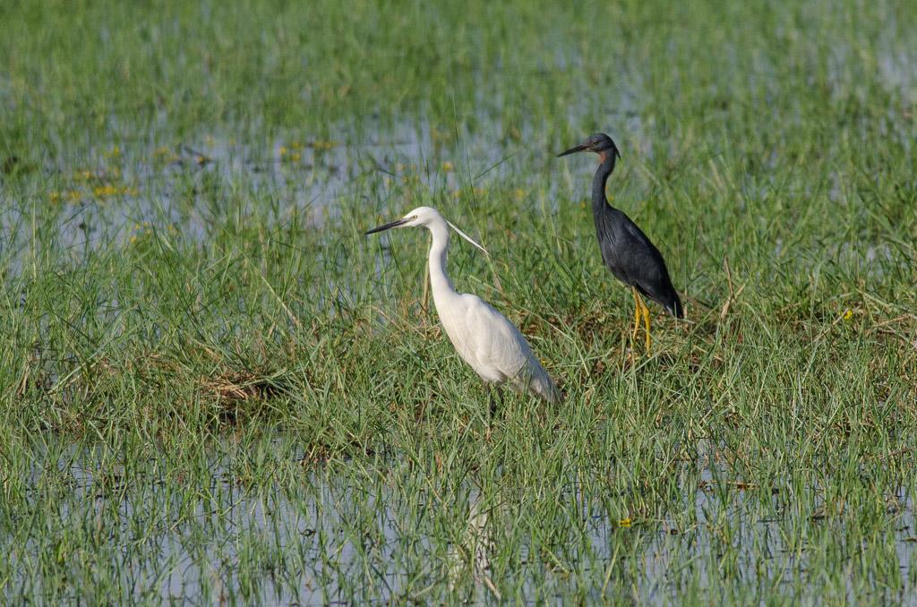 Slaty Egret with Little Egret