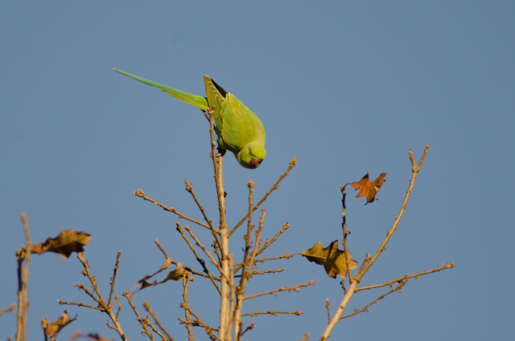 Rose-ringed Parakeet (Perruche a collier)