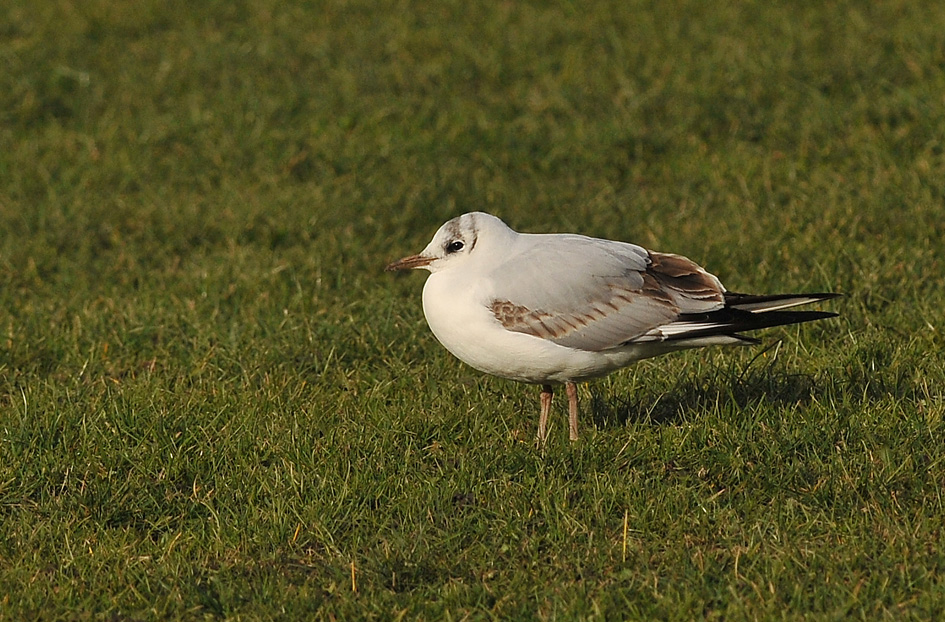 Black-headed Gull (Mouette rieuse)