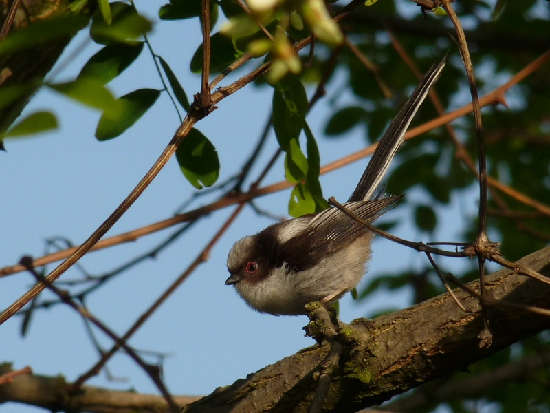 Long-tailed Tit   (MESANGE A LONGE QUEUE)