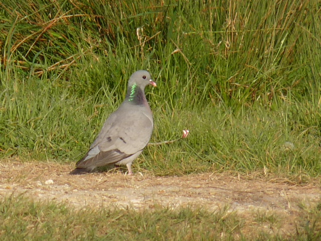 Stock Dove   (Pigeon colombin)