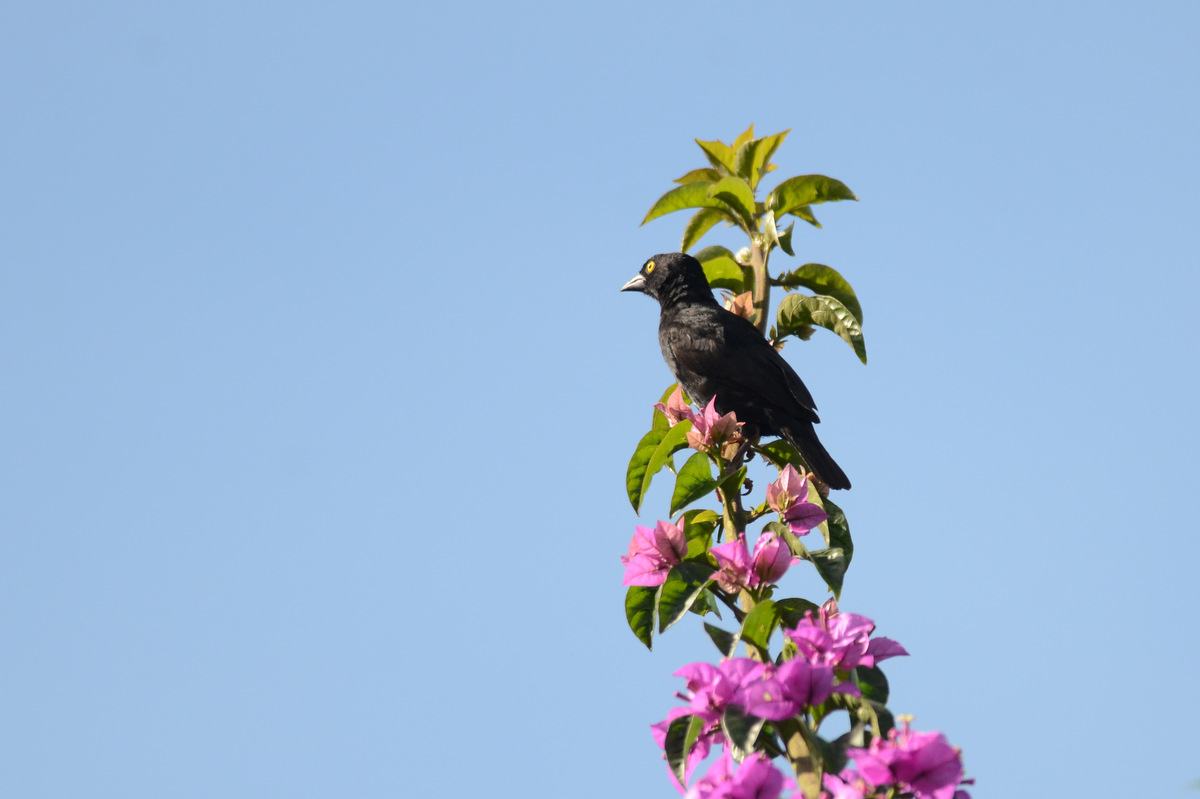 Veillot's Black Weaver