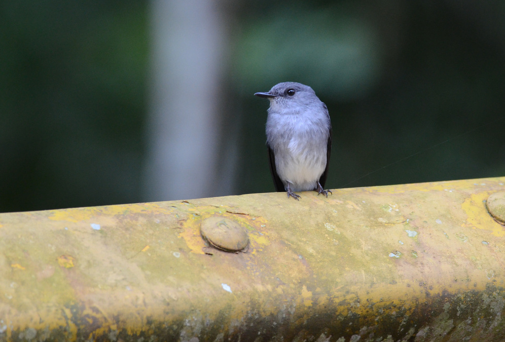 Cassin's Grey Flycatcher