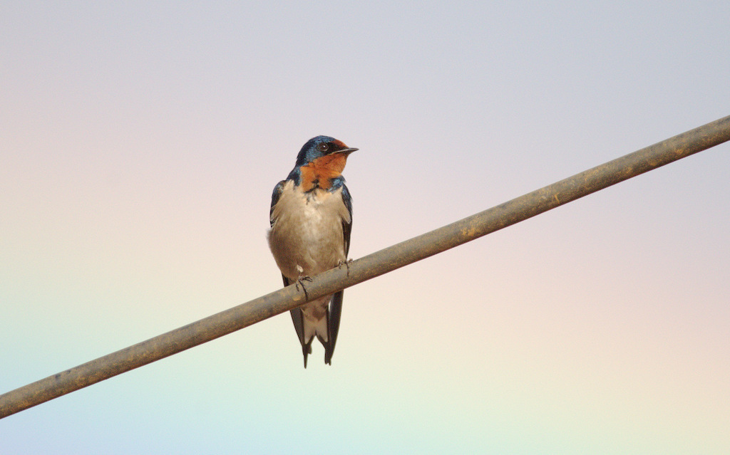 Angola Swallow (and rainbow)
