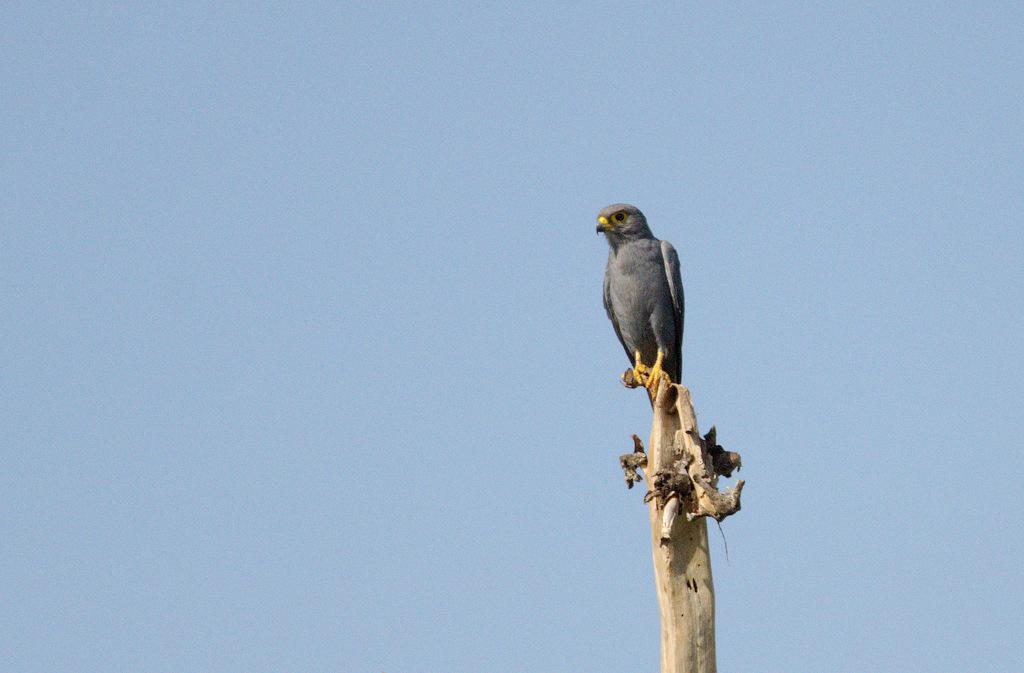 Grey Kestrel