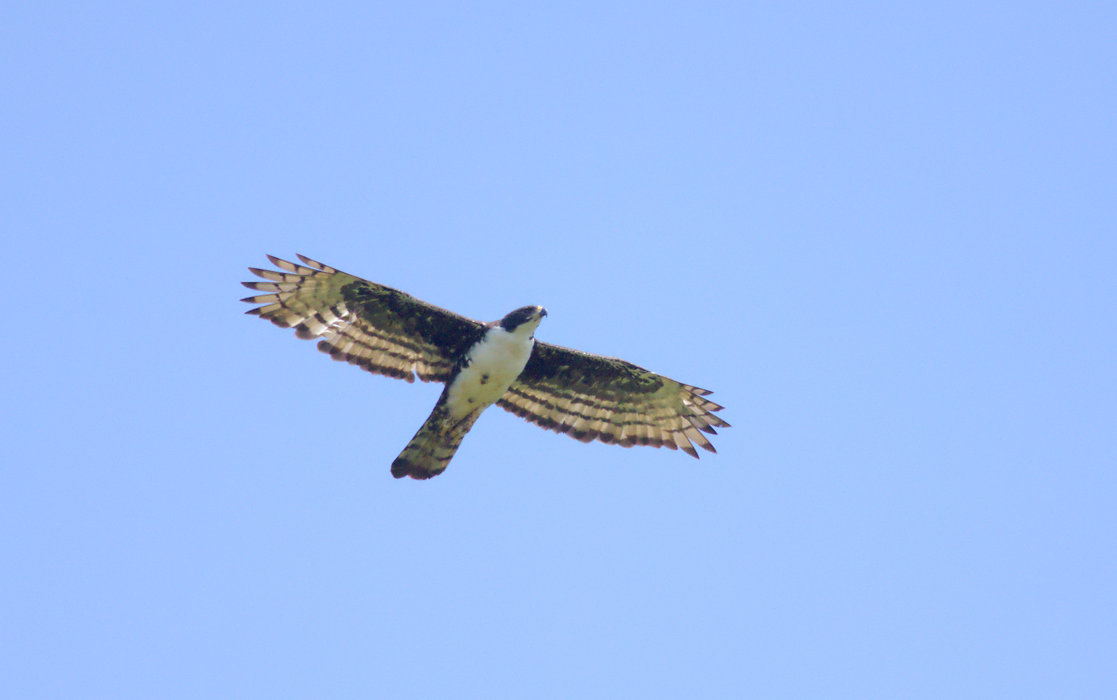 Cassin's Hawk-eagle