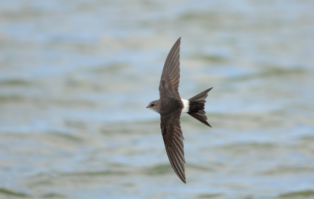 Pacific Swift