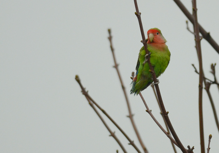 Rosy-faced Lovebird  (INSEPERABLE ROSEGORGE)