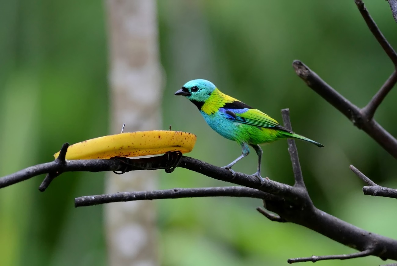 Green-headed Tanager  (Calliste à tête verte)