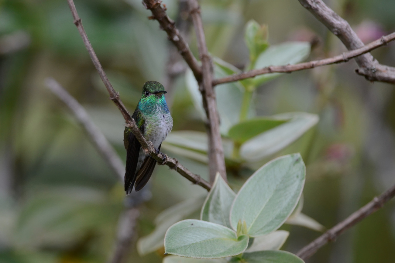 Versicoloured Emerald