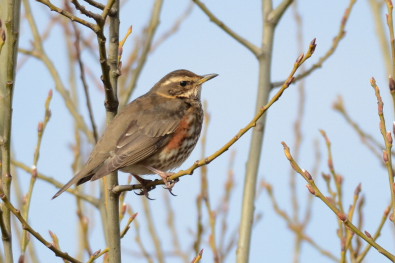 Redwing  (Grive mauvis)