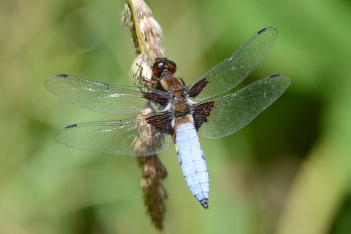 Broad-bodied Chaser - LIBELLULA DEPRESSA