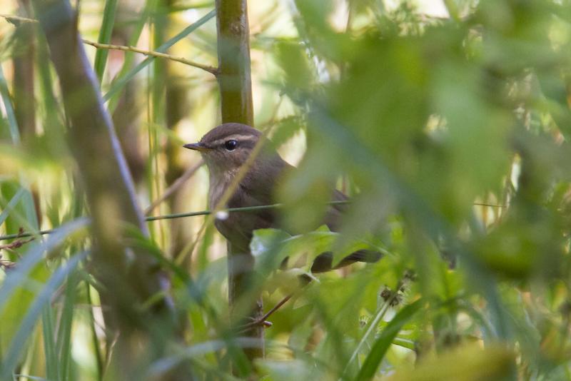 Dusky Warbler (Pouillot brun)