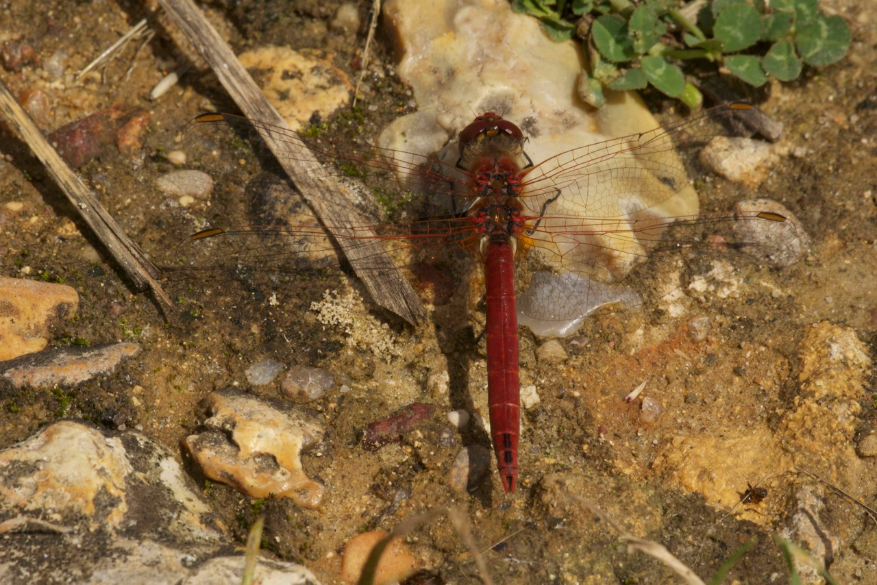 Red-Veined Darter - SYMPETRUM FONSCOLOMBII