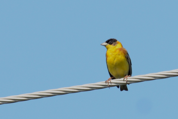 Black-headed Bunting  -  BRUANT MELANOCEPHALE