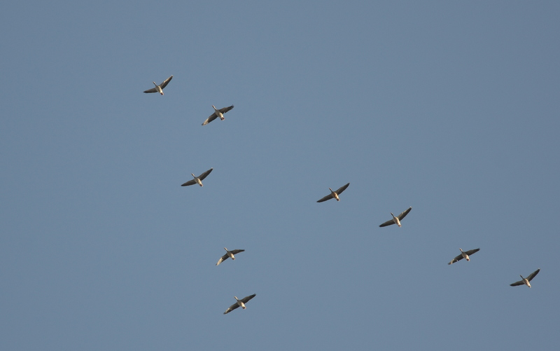 Greylag Goose   (OIE CENDREE)