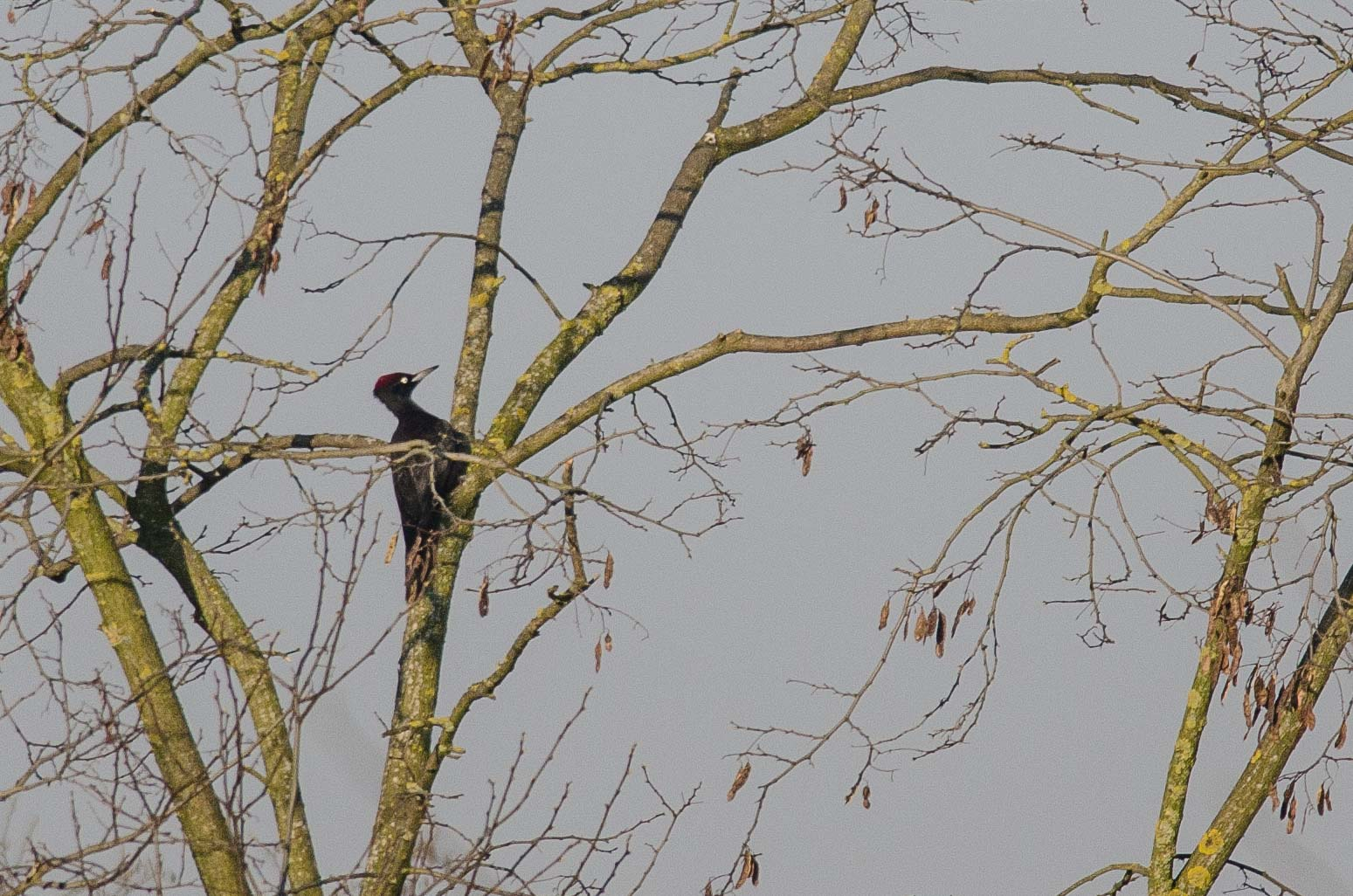Black Woodpecker (Pic noir)